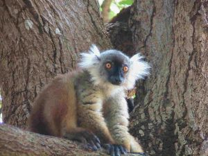 Female Lemur